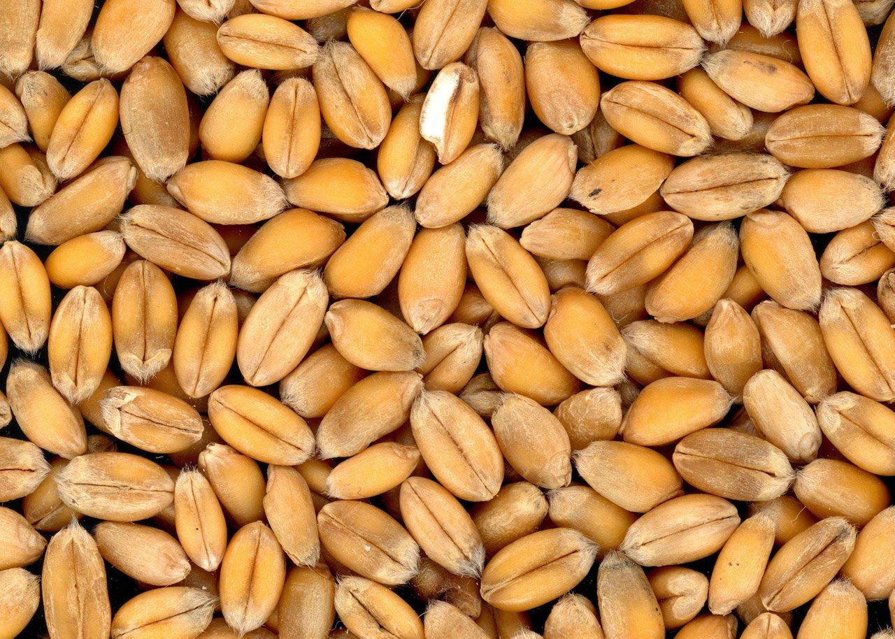 Как защитить зерно от грызунов и вредителей