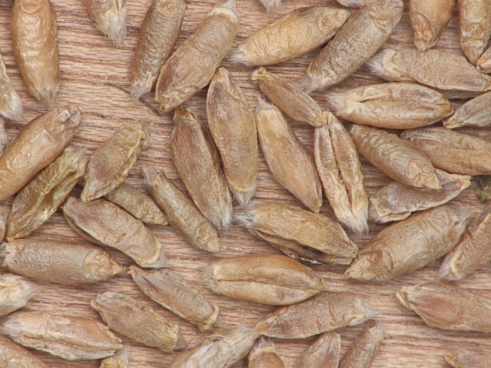 Строение зерна тритикале