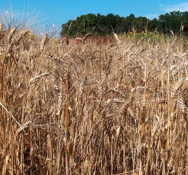 15.3 Всё чего вы не знали о пшенице: какая бывает пшеница ее классы, виды и типы зерновых