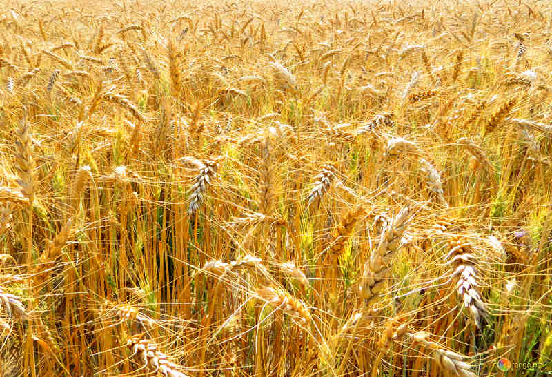 Обработка пшеницы гидротермальным способом