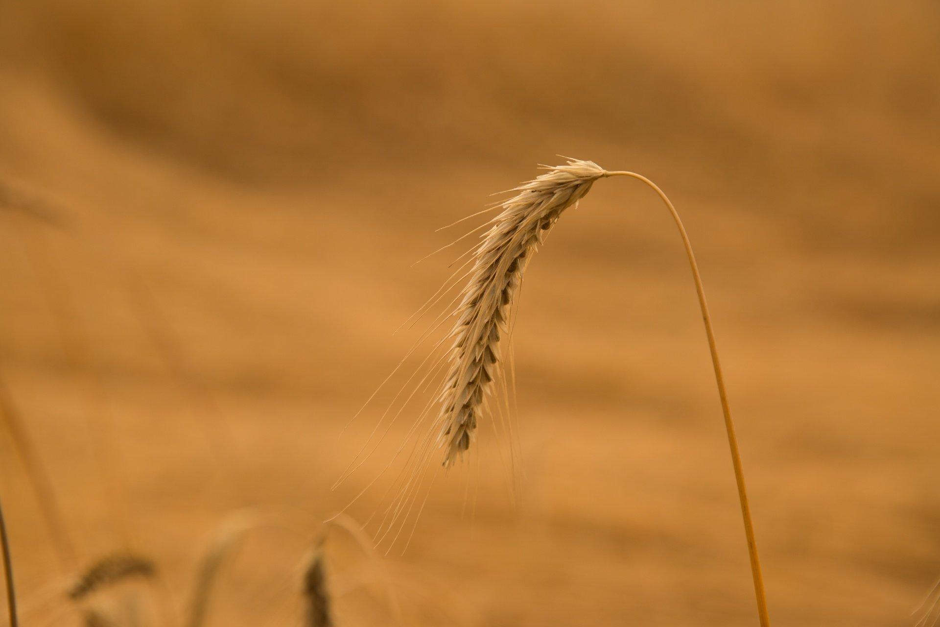 Показники якості пшениці за стандартами США та України
